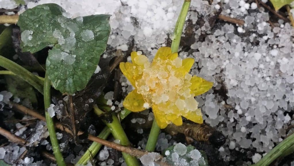 Snow and a Celadndine flower